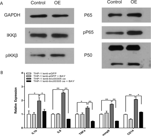 LINC00305 promotes inflammation by activating NF-κB in THP-1 cells.(A) Western blot analysis of the key proteins in the NF-κB pathway (IKKβ, phosphorylated IKKβ, P65, phosphorylated P65 and P50) in THP-1 cells stably expressing LINC00305 (OE) or the control vector (Control). GAPDH was used as an internal control. (B) QRT-PCR analysis of the indicated cytokine genes in THP-1 cells stably expressing the control vector (THP-1 lenti-eGFP) or LINC00305 (THP-1 lenti-linc00305 oe) treated with DMSO or 10 μM BAY 11-7082 for 30 min. The gene expression levels in the DMSO-treated control group (THP-1 lenti-eGFP) were designated a value of 1.0, and GAPDH was used as an internal control. Data are presented as the mean ± sem of 3 independent experiments. *p < 0.05, **p < 0.01 vs. the indicated group.