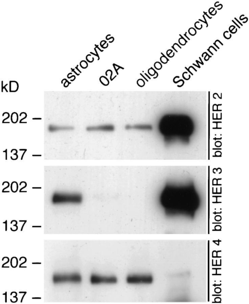 Distinct neuregulin receptor expression by CNS and  PNS glial cells. Primary cultures of astrocytes, O2A progenitor cells,  oligodendrocytes, and Schwann cells were prepared as described.  Cell lysates containing 10 μg of protein were resolved on 4–15%  gradient polyacrylamide gels and probed with HER2, HER3, or  HER4 antibodies. Cells in the oligodendrocyte lineage express  HER2 and HER4, Schwann cells express HER2 and HER3, and  astrocytes express HER2, HER3, and HER4.