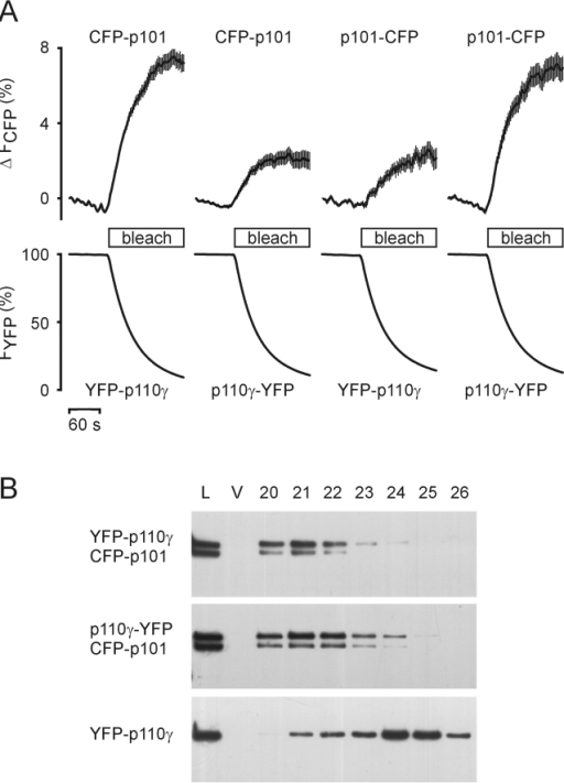 Dimerization of p110γ and p101. (A) HEK cells were cotransfected with plasmids encoding NH2- or COOH-terminally YFP-tagged p110γ and NH2- or COOH-terminally CFP-tagged p101 in different combinations. FRET was measured in vivo. An increase in CFP (donor) fluorescence during YFP (acceptor) bleach indicates FRET between fluorescent PI3Kγ subunits. The depicted data represent means ± SEM of at least 18 single cells in three independent transfection experiments. (B) HEK cells were transfected with the indicated plasmids. Cytosols were prepared and subjected to gel filtration. The elution profiles were analyzed by immunoblotting with an anti-GFP antibody (L, load diluted 1:5; V, void volume; 20–26, fraction numbers).