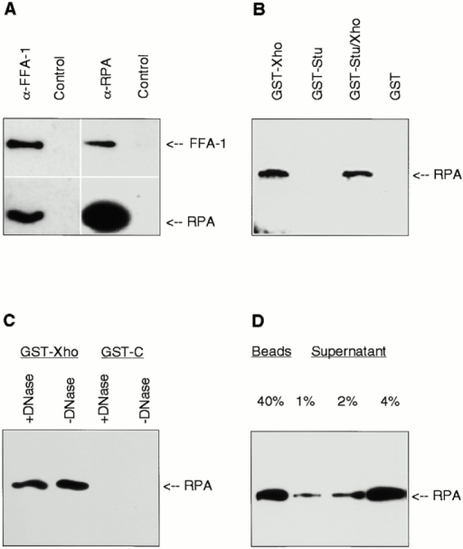 Interaction between FFA-1 and RPA. (A) Coimmunoprecipitation of FFA-1 and RPA. Western blot analysis of the proteins brought down from the cytosol by the Affi-gel protein A beads precoated with the indicated antibodies. Blots were probed with the rabbit anti–FFA-1C (top) and rabbit anti-RPA (bottom). (B) Mapping of the RPA interaction domain in FFA-1. The various GST–FFA-1 fusion proteins were incubated with the cytosol and then brought down by glutathione beads. The bound proteins were then subject to Western blot analysis with the purified rat anti-RPA antibody. (C) Interaction between GST-Xho and the purified Xenopus RPA in the presence or absence of DNase I. The proteins brought down by glutathione beads were analyzed by Western blot with the purified rat anti-RPA antibody. (D) Amount of RPA bound to GST-Stu/Xho. GST-Stu/Xho (500 nM) was incubated with 5 μl of cytosol in a 15-μl reaction and then brought down by glutathione beads. Indicated amounts (as percentages of cytosol) of the beads and supernatant fractions were analyzed by Western blot with the purified rat anti-RPA antibody.