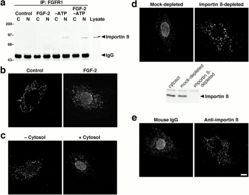 Nuclear import of FGFR1 is mediated by importin β. (a) Coimmunoprecipitation of importin β with FGFR1. Cells were untreated or subjected to ATP depletion by treatment with oligomycin B and 2-deoxyglucose for 2 h, in the absence or presence of FGF-2, and separated into cytosolic (C) and nuclear (N) fractions. FGFR1 was immunoprecipitated from equal amounts of protein, and complexes were separated by SDS-PAGE and immunoblotted for importin β. The whole cell lysate is shown for comparison, the immunoglobulin heavy chain (IgG) is indicated, and molecular weights are indicated in kD. (b–e) Nuclear translocation of FGFR1 in Swiss 3T3 fibroblasts was examined using an in vitro nuclear import assay (Adam et al. 1990), and cells were analyzed by FGFR1 immunostaining and confocal microscopy. Unpermeabilized cells (b) were untreated or incubated for 30 min with FGF-2. Digitonin-permeabilized cells (c–e) were incubated for 30 min with FGF-2 in the absence or presence of exogenous cytosol (c), with mock- or importin β–depleted exogenous cytosol (d) or with exogenous cytosol plus mouse IgG or a neutralizing antibody against importin β (e). Depletion of importin β from exogenous cytosol was confirmed by immunoblotting (d). Bar, 10 μm.