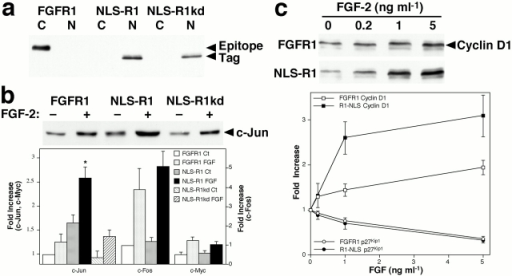 Nuclear FGFR1 induces c-Jun expression and potentiates FGF-induced cyclin D1 expression. (a) NIH 3T3 fibroblasts were transfected with constructs encoding full-length wild-type FGFR1, FGFR1 with the signal peptide replaced by the SV-40 large T antigen NLS (NLS-R1), or with a construct encoding NLS-R1 with a kinase-inactivating point mutation (NLS-R1kd), each with an epitope tag at the COOH terminus. Cells were separated into cytosolic (C) and nuclear (N) fractions, and equal amounts of protein were immunoblotted for the epitope tag. The molecular weight of wild-type FGFR1 (140 kD) is greater than that of NLS-R1 (110 kD) due to glycosylation. (b) Basal and FGF-induced immediate early gene expression in transfected cells. Cells were transiently transfected with the indicated constructs, starved for 24 h in low-serum medium, and then treated for 1 h with 1 ng/ml FGF-2. Equal amounts of whole cell lysate protein were immunoblotted for c-Jun, c-Fos, and c-Myc. Expression levels were quantified by densitometry of immunoblots, and values are normalized to untreated FGFR1-transfected cells and represent the mean ± SEM of triplicate experiments. *P < 0.01 versus FGFR1-transfected cells treated with FGF-2. (c) FGF-2–induced cyclin D1 and p27Kip1 expression in transfected cells. Transiently transfected cells were starved for 24 h in low-serum medium and then treated for 16 h with FGF-2. Equal amounts of whole cell lysate protein were immunoblotted for cyclin D1 and p27Kip1. Expression levels were quantified by densitometry of immunoblots, and values are normalized to untreated cells and represent the mean ± SEM of triplicate experiments.