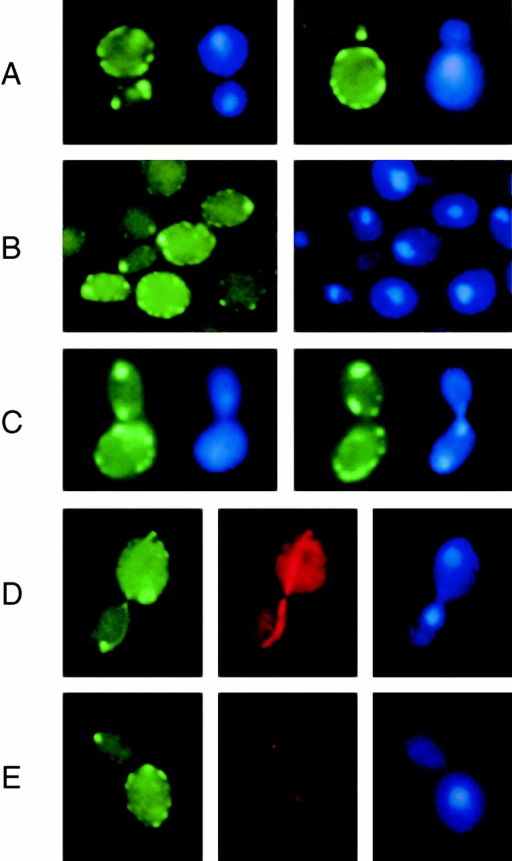 Subcellular distribution of GFP-Num1p in diploid strains lacking Bni1p (A, FMY795), Kar9p (B, FMY838), or Dyn1p (C, FMY872). (D and E) show diploid cells expressing galactose-induced yEGFP3-NUM1 (FMY519) in the absence (D) or presence (E) of 20 μg/ml nocodazole. Microtubules were visualized by indirect immunofluorescence using antitubulin antibodies (middle panel of rows D and E), and nuclear regions were stained with DAPI (rows A–E, right).
