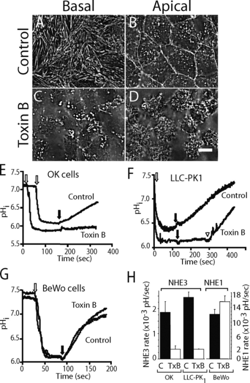 Effect of C. difficile Toxin B (TxB) on actin structure and NHE activity. (A–D) OK cells grown on coverslips were left untreated (A and B) or were treated with 1 μg/ml TxB for 4–6 h (C and D) before fixation. The cells were permeabilized and F-actin visualized using Alexa 488–labeled phalloidin. (A and C) Basal focal plane. (B and D) Apical focal plane. Bar, 10 μm. (E–G) Measurements of intracellular pH (pHi). OK (E), LLC-PK1 (F), and BeWo (G) cells grown on coverslips were loaded with BCECF and NH4Cl as described under materials and methods. Where indicated by the open arrow, acid loading was accomplished by removal of extracellular NH4 using a Na+-free solution. Physiological Na+-containing solution was reintroduced where noted by the black arrows. In F, 100 μM amiloride was present throughout, but was removed from the lower trace where noted by the arrowhead. Where specified, the cells were pretreated with TxB for 4–6 h. pHi was monitored fluorimetrically and calibrated as detailed in materials and methods. (H) Quantification of the rate of NHE3 (left ordinate) and NHE1 (right ordinate) activity. Data for the indicated control or TxB-treated cell types was obtained from experiments like those in E–G. Data are means ± SE of at least four experiments of each kind.