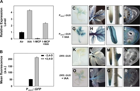 Auxin responsiveness of the Sl-IAA3 gene. (A) qRT-PCR analysis of Sl-IAA3 transcript levels in 3-week-old light-grown control and auxin-treated (20 μM IAA for 2 h) seedlings in presence or absence of 1 μl l−11-MCP applied 16 h prior to auxin treatment. Relative expression level on the y-axis refers to the fold difference in SI-IAA3 transcript levels relative to the non-treated plantlets. (B) Auxin responsiveness of the Sl-IAA3 promoter. Tobacco protoplasts were transformed by PIAA3::GFP and incubated in the presence or absence of 2,4-D (50 μM). Transformation was performed in triplicate and, in each experiment, GFP fluorescence was measured by flow cytometry 16 h after transfection. Values are expressed in arbitrary units (a.u.) ±standard error. (C–F) Tissue-specific expression of Sl-IAA3 assessed in transgenic tomato expressing GUS reporter gene driven by the Sl-IAA3 promoter (PIAA3::GUS). The expression pattern was analysed in 3-week-old seedlings (C), leaves (D), roots (E), and MG fruit (F). (G–J) These images correspond to the same tissues treated for 2 h with 20 μM IAA. (K–N) These images correspond to the same tissues expressing the DR5 auxin-responsive promoter fused to the GUS reporter gene (DR5::GUS) and those in (O–R) to DR5::GUS treated with 20 μM IAA. The data are representative of at least three independent experiments with n > 20 seedlings examined per experiment.