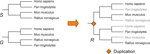 Tree reconciliation between a gene tree G and a species tree S showing different topologies. The result is the reconciled tree R. R is a variation of S, in which duplication nodes have been inserted in order to explain incongruence with G.