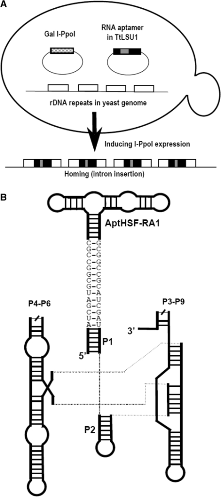 figure 1 knocking down gene function with an rna aptamer