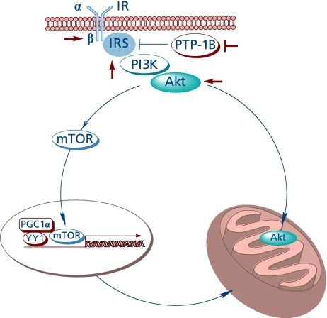 The insulin-like effect of lipoic acid and Akt-dependent stimulation of mitochondrial function.