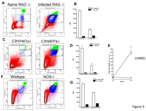Significant numbers of Gr1int CD11b+ cells were also found in RAG2-/- and C3HeB/FeJ mice.The influx of Gr1intCD11b+ cells was evaluated in immunocompromised RAG-/- (A), and immunocompetent C3HeB/FeJ mice (C) and NOS-/- (F). Again, large numbers of Gr1intCD11b+ cells were observed in these three mouse strains and significant differences were observed in the Gr1+ MFI (B, D, G). Similar to NOS2 -/- mice, arginase activity was also increased in C3HeB/FeJ undergoing lung necrosis (E). In contrast, C3H/HeOuJ did not have major arginase activity. Similar to NOS2 -/- mice, arginase activity was also increased in C3HeB/FeJ undergoing lung necrosis (E). Results are expressed as the mean values of mean fluorescence intensity (MFI) or arginase activity (± SEM, n=5) in the Lung. **Student t-test, p<0.001.