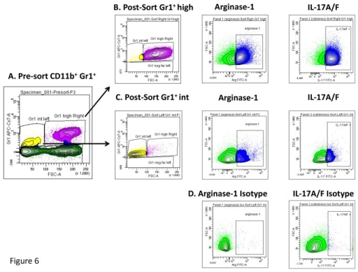 Gr1int and Gr1hi cells sorted from M. tuberculosis infected NOS-/- mice expressed arginase I and IL-17.Specific populations of Gr1int or Gr1hi cells were sorted from infected NOS-/- mice in an attempt to further characterize Gr1int and Gr1hi cell function during tuberculosis using flow cytometry. Panel A, demonstrates pre-sorted Gr1+CD11b+ cells which were then further characterized. Gr1hi and Gr1int sorted cells (B, C) both demonstrated high expression of arginase I and IL-17. Panel D shows the isotype controls for arginase-1 and IL-17A.