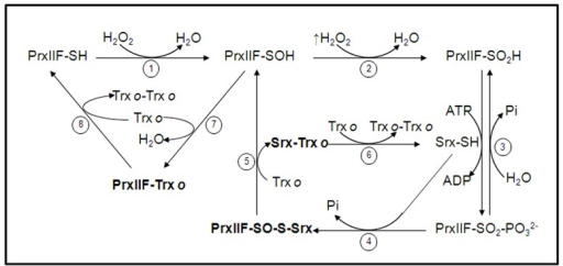 Catalytic cycle of mitochondrial PrxIIF overoxidation and regeneration by Srx. In physiological conditions mitochondrial PrxIIF is oxidized to its sulfenic form in the reduction of peroxides (step 1). At high concentration of H2O2 PrxIIF may be overoxidized to the inactive sulfinic form (PrxIIF-SO2H; step 2) that is phosphorilated, through a reversible step, in the presence of Srx and ATP (step 3). The phosphoril ester (PrxIIF-SO2-) is converted into sulfinate (PrxIIF-SO-S-Srx) with Srx and Pi is released (step 4). A reducing agent (mitochondrial Trxo) reduces the heterocomplex to release PrxIIF-SOH and Srx-Trxo (step 5). The complex Srx-Trxo is subsequently reduced to Srx-SH by Trxo (step 6). The sulfenic form of PrxIIF is reduced by Trxo that forms the intermolecular complex PrxIIF-Trxo (step 7) and the active PrxIIF-SH is released by another Trxo (step 8) that forms the dimer Trxo-Trxo. The binary complexes between the three proteins in the cycle (sulfinic PrxIIF, Srx and Trxo) are in bold type. (cif. ref. Iglesias-Baena et al., 2011).