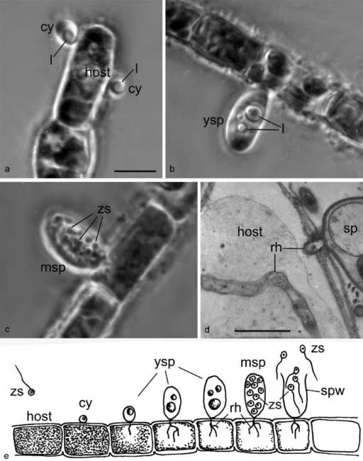 Stages of the life cycle of Gromochytrium mamkaevae (x-51 CALU) on the host Tribonema gayanum. — a–c: LM images of living parasite on filament of host Tribonema, phase contrast. – a. Two cysts with a lipid globule; b. young sporangium with 3 lipid globules; c. mature sporangium contains zoospores. – d. Rhizoid in the host cell in TEM. – e. Drawing of the life cycle. — Abbreviations: cy = cyst; l = lipid globule; msp = mature sporangium; rh = rhizoid; sp = sporangium; spw = sporangium wall; ysp = young sporangium; zs = zoospores. — Scale bars: a–c = 10 μm; d = 2 μm.