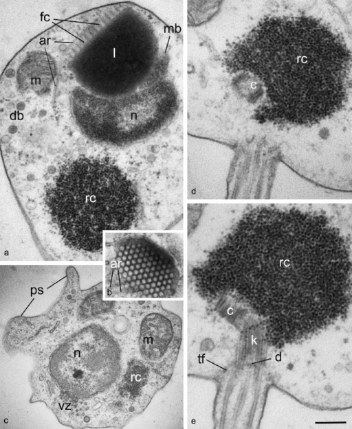 General ultrastructure of Gromochytrium mamkaevae (x-51 CALU) zoospore. — a. General disposition of nucleus and other organelles at LS; b. tangential section of fenestrated cisterna crossed by anterior microtubular root; c. pseudopodia at cell anterior; d, e. two consecutive sections of the kinetid. — Abbreviations: ar = anterior microtubular root; c = centriole; d = kinetosome diaphragm; db = dense bodies; fc = fenestrated cisterna; k = kinetosome; l = lipid globule; m = mitochondrion; mb = microbody; n = nucleus; ps = pseudopodia; rc = ribosomal core; tf = transitional fibers (props); vz = vesicular zone. — Scale bar on E: a = 300 nm; b, c = 400 nm; d, e = 200 nm.