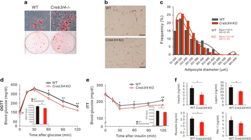 Creb3l4-KO mice showed adipocyte hyperplasia, lead to improved metabolic parameters. (a) Adipogenic potential of mouse embryonic fibroblasts (MEFs) derived from wild-type (WT) or Creb3l4-knockout (KO) mice. Cells were stained with oil-red O after treatment with insulin (10 μg/ml) and rosiglitazone (2 μM) for 6 days, followed by insulin (1 μg/ml) for 16 days. Microscopic ( × 20) views representative of three independent experiments are shown. (b) Hematoxylin and eosin (H&E) staining of epididymal fat. Scale bar: 100 μm. (c) Adipocyte diameter was quantified with Image J (n=3). (d) Oral glucose tolerance test (GTT), (e) insulin tolerance test (ITT), performed after 14 and 15 weeks, respectively, of feeding HFD (n=12–19). (f) Insulin level from mice was measured by ELISA ( n=9–14 ). Leptin, resistin, and PAI-1 levels from mice fed HFD for 16 weeks were measured by MAGPIX, using a MILLIPLEX MAP mouse magnetic bead panel (n=6–12). Values are expressed as mean±S.E.M., *P<0.05, **P<0.01