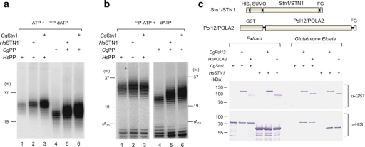 The intra-species and inter-species binding and stimulatory activities of C. glabrata and human Stn1(a) HsPP and CgPP were analyzed in the absence or presence of HsSTN1 or CgStn1 using the poly-dT template, unlabeled ATP and labeled dATP. (b) HsPP and CgPP were analyzed in the absence or presence of HsSTN1 or CgStn1 using the poly-dT template, labeled ATP and unlabeled dATP.(c) Extracts from strains expressing the indicated combinations of Pol12 and Stn1 were subjected to GST affinity purification, and the extracts and purified fractions analyzed by Western using anti-HIS and anti-GST antibodies.