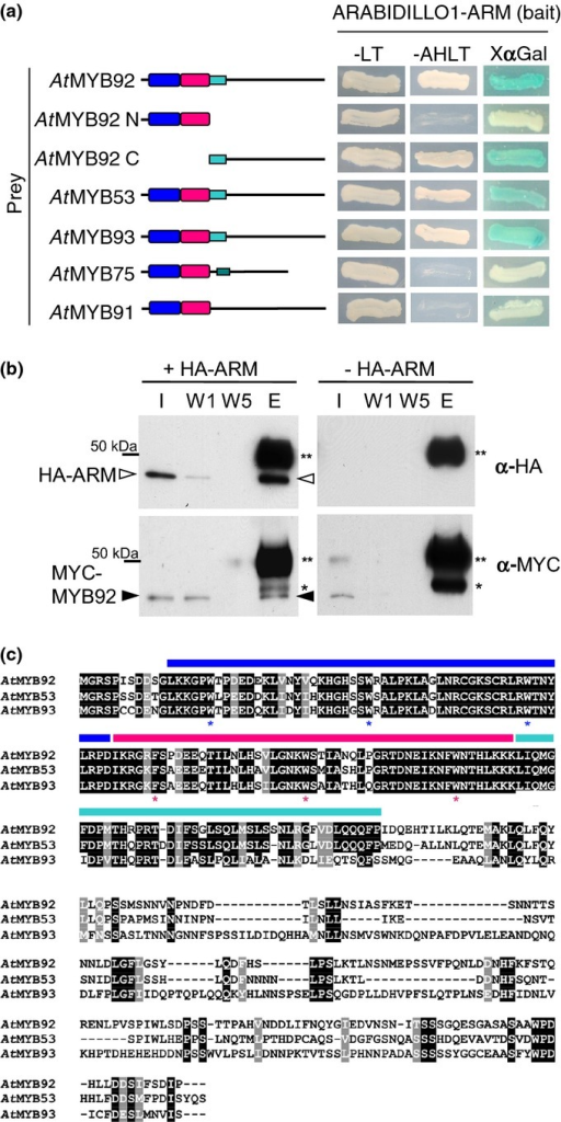 The ARABIDILLO-1 ARMADILLO (ARM) domain interacts with three related R2R3 MYB family proteins: AtMYB92, -53 and -93. (a) Yeast two-hybrid interactions between the ARABIDILLO1 ARM-repeat domain and full-length Arabidopsis R2R3 MYB cDNAs expressed as GAL4-BD (GAL4-binding domain) and GAL4-AD (GAL4-activation domain) fusions, respectively. Growth on -LT (Leucine-Tryptophan) medium indicates successful co-transformation. Positive interactions are indicated by growth on -AHLT (Adenine-Histidine-Leucine-Tryptophan) medium and by blue colouration in the presence of X-α-gal. The ARABIDILLO-1 ARM-repeat domain interacts with AtMYB92,-53 and -93, but not with more distantly related AtMYB75/PAP1 (PAP1 = PRODUCTION OF ANTHOCYANIN PIGMENT 1) or AtMYB91/AS1 (AS1 = ASYMMETRIC LEAVES1). The interaction is specific to the C-terminus downstream of the R2R3 MYB domain. Conserved R2 and R3 MYB domains are shown in blue and magenta; the cyan box denotes the conserved C-terminal motif of AtMYB92, -53 and -93; the green box denotes a conserved C-terminal motif in AtMYB75/PAP1. (b) Co-immunoprecipitation of N-terminally MYC-tagged AtMYB92 (MYC-MYB92; closed arrowhead) with the N-terminally HA-tagged ARABIDILLO1 ARM domain (HA-ARM; open arrowhead). Proteins were synthesized in vitro, and co-incubated with anti-HA antibody. A control immunoprecipitation (IP) performed without the addition of HA-ARM was also conducted. I, input; W1/5, washes 1 and 5; E, elution; **, antibody heavy chain; *, nonspecific band in anti-MYC western blots. We performed similar experiments with AtMYB93, but because of the size of AtMYB93, it unfortunately could not be detected in the elution as it was occluded by the antibody heavy chain. (c) Alignment of the full-length amino acid sequences of AtMYB92, AtMYB53 and AtMYB93. Black and grey shading denotes identical and similar amino acid residues, respectively. Blue and magenta bars denote conserved R2 and R3 MYB domains, respectively. The cyan bar denotes the conserved C-terminal motif unique to these three proteins. *, key conserved aromatic residues within the R2R3 MYB domain.