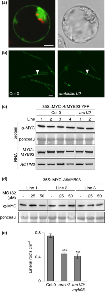 Arabidopsis AtMYB93 does not appear to be a degradation target of ARABIDILLOs. (a) Fluorescent and brightfield confocal sections of an Arabidopsis protoplast showing nuclear and cytosolic localization of a 35S::MYC-AtMYB93-YFP translational fusion protein. Bar, 10 μm. (b) Fluorescent confocal sections of root hairs of wild-type (left) and arabidillo1/2 (right) seedlings stably expressing a 35S::MYC-AtMYB93-YFP fusion protein, showing nuclear and cytosolic localization and equal protein intensities. Bar, 25 μm. (c) Western blot and RT-PCR analysis of MYC-AtMYB93-YFP in wild-type and arabidillo1/2 seedlings. There are no significant differences in expression levels and protein stability in the two genetic backgrounds, indicating that ARABIDILLOs do not regulate AtMYB93 stability. (d) Western blot analysis of MYC-AtMYB93 protein in seedlings treated with proteasome inhibitor MG132. MYC-AtMYB93 stability is not enhanced in the presence of MG132, suggesting that AtMYB93 is not regulated by the proteasome. (e) A triple arabidillo1/arabidillo2/Atmyb93 mutant has a phenotype resembling that of the arabidillo1/2 mutant (reduced emerged lateral root density). Error bars, ± SE. t-test: ***, P < 0.001.