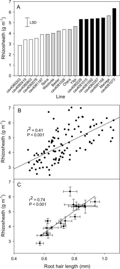 (A) Rhizosheath size is correlated with root hair length in the MAGIC 4-way lines. Rescreen of the MAGIC 4-way lines with six large (black bars) and six small rhizosheath lines (white bars) identified from Fig. 2A. All lines were screened together with six replicates for each line and included parental and reference lines (grey bars). The least significant difference (LSD) for P=0.05 is shown. (B). Relationship between root hair length and rhizosheath size plotting values for each individual seedling. (C) Relationship between root hair length and rhizosheath size plotting mean values for each line (n=6 for each line, error bars indicate standard errors in both directions).