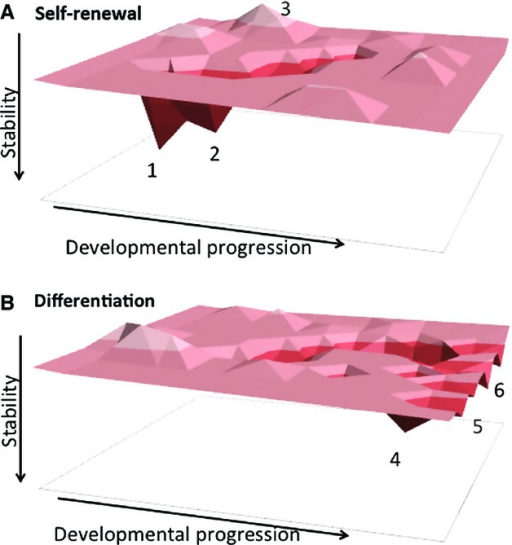 ES cell differentiation landscape. Model in which the GRN is indicated as a 3D surface, with all possible gene expression combinations existing as discrete coordinates in 2D state space. Some coordinates (meaning combinations of expression patterns) are more likely or more stable than others, and are called 'attractors'. For example, in (A) positions 1 and 2 indicate stable or highly probable attractor states, whereas position 3 indicates a very unstable/unlikely position. Position 1 in (A) represents self-renewing cells in 2i/LIF conditions and position 2 represents ES cells in serum/LIF conditions. Upon loss of self-renewal signals (B), the resulting GRN no longer favours attractors 1 or 2, which become very unstable. In contrast attractors 4, 5 and 6 have become more stable and can attract cells traversing the landscape. These would represent entry points into different differentiation pathways. During normal development cells can only move from left to right in this model. Moving from right to left would only occur during experimental reprogramming. NuRD activity is predicted to limit the depth of the attractors and/or define the trajectories, displayed here as troughs, between attractors. PRC2 function is proposed to be required to stabilize/maintain the attractors.