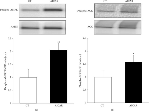 AICAR induces AMPK activation in HL-1 cardiac cells. HL-1 cells were stimulated with AICAR for 1 h and the AMPK activation was confirmed by the protein levels of phospho-Thr172-AMPK (a) and phospho-Ser79-ACC (b). Quantifications show the ratio between phosphorylated and total forms of each protein. Data are expressed as mean ± SD of 3 different experiments. (∗P < 0.05, ∗∗P < 0.01 versus control nonstimulated cells).