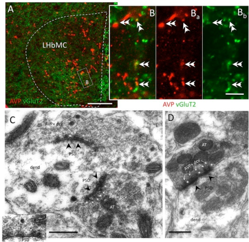 Most AVP+ axon terminals co-expressed vesicular glutamate transporter 2 (vGluT2) and established Gray type I synapses onto habenular neuron's dendrites. (A,B) Representative confocal photomicrographs of double immunofluorescence AVP (red) and vGluT2 (green) centered at the medio-central lateral habenular (LHbMC) subnucleus. Double arrowheads indicate the double-labeled axon terminals. (C,D) Electron microscopy photomicrographs showing the AVP+ dense core vesicles (dcv, thin white arrows) inside the axon terminals (AT) established Gray type I synapse (post-synaptic densities, PSD, were indicated with black arrowheads) onto habenular neuron's dendrites (dend). Asterisks are put adjacent to AVP+ dcv, which showed docking onto presynaptic membranes. Scale bars: A: 50 μm; B: 5 μm, C, D: 500 nm.