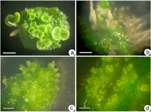 Shoot organogenesis on induction media supplemented with the same concentration (2.5 μM) of a single PGR from leaf explants of Metabriggsia ovalifolia after culture for 5 weeks (bars = 2 mm).Adventitious shoots and roots developed from an immature leaf explant on induction medium containing 2.5 μM IAA (a) or 2.5 μM NAA (b). Adventitious shoots developed from an immature leaf explant on induction medium containing 2.5 μM BA (c) or 2.5 μM TDZ (d).