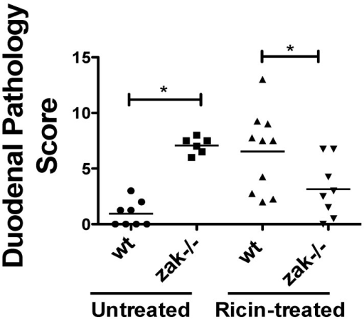 C57BL/6 backcrossed zak−/− mice have a lower duodenal pathology score than zak+/+ (wt) mice following oral intoxication with ricin. Mice were gavaged with 10 mg/kg ricin (oral murine LD50 ~10–30 mg/kg [23,33,34]) or vehicle (PBS) and sacrificed ~22 h following gavage. Histopathology scoring as defined in Methods was performed on H&E stained duodenal sections. The number of animals in each group are as follows: wt gavaged with vehicle = 8; zak−/− gavaged with vehicle = 6; wt gavaged with ricin = 10; zak−/− gavaged with ricin = 8. Horizontal lines mark the mean score for each treatment group. Data reflect a compilation of two independent experiments. * Indicates significance p < 0.05 by one-way ANOVA and Tukey's multiple comparison test. Statistical analysis was performed using Prism for Mac, Version 5.0d, 2010 (GraphPad Software, Inc., La Jolla, CA 92037 USA).