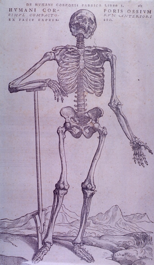 <p>A skeleton, frontal view, full-length.</p>
