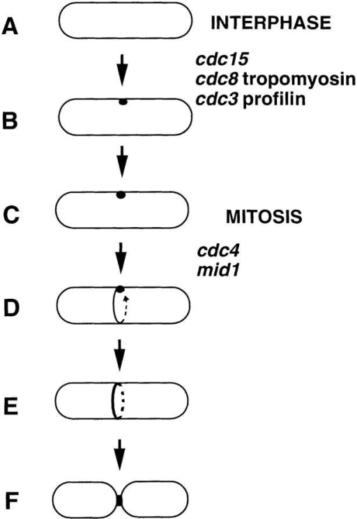 A model for the establishment of the division site in S.  pombe. (A and B) In interphase, a marker spot is established at  the cell middle, possibly by a signal from the nucleus. This spot  may contain cdc12p; alternatively, upon overexpression, cdc12p  may accumulate at such a structure. (C) In early mitosis, the spot  remains on the cortex. (D) In early mitosis, the ring forms at the  site marked by the spot by extension of a strand from the spot  around the circumference of the cell. (E) During anaphase, the  ring becomes more robust. (F) After nuclear division, the ring  closes during septation and cell division. Roles of the actin ring  genes are inferred from cdc12p localization in mutants. Aspects  of this model are inferred from cdc12p overexpression and mutant data. Alternate models are discussed in the text.