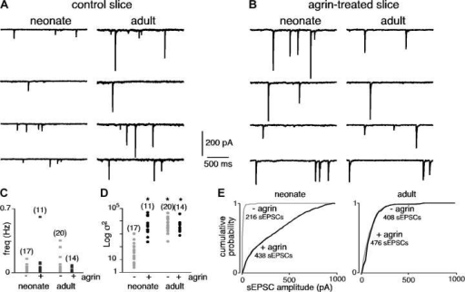 Effect of prolonged agrin treatment on spontaneous excitatory synaptic activity recorded in adult and neonate chromaffin cells (holding potential −80 mV). (A and B) Chart recordings illustrating sEPSCs in control and agrin-treated slices (4–5 h before recordings). (C and D) Summarized effects of agrin on sEPSC frequency and amplitude variance. *, P < 0.01 compared with untreated slices. (E) Plots showing the cumulative probability of sEPSC amplitude.
