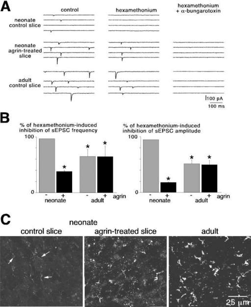 Agrin-induced recruitment of α-Bgt–sensitive nAChRs in neonates. (A) Effect of 200 μM hexamethonium and 10 μg/ml α-Bgt on sEPSCs in neonates and adults. In neonates, sEPSCs were fully blocked by hexamethonium. After exposure to agrin, the complete inhibition of sEPSCs required the additional application of α-Bgt, as in adults. (B) Pooled data summarizing the effects of hexamethonium on sEPSC frequency and amplitude. *, P < 0.01 when compared with untreated slices. (C) Effect of agrin treatment on the expression pattern of α7 nAChRs stained with Alexa 488–labeled α-Bgt.
