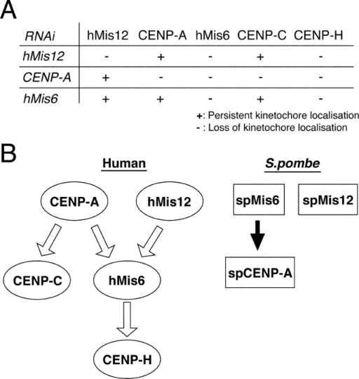 Localization dependencies of kinetochore proteins hMis12, CENP-A, hMis6, CENP-C, and CENP-H in HeLa cells revealed by the RNAi method. (A) Results of intracellular localization of five kinetochore proteins in three different RNAi knockdowns are summarized. The localization of hMis12 and CENP-A is independent. (B) Localization dependency of kinetochore proteins in human and S. pombe is illustrated. The arrows indicate the requirement of functional kinetochore protein for proper localization of the downward proteins. In S. pombe, the localization of spMis12 and spCENP-A is independent, but the directionality for the requirements of Mis6 and CENP-A is different (Takahashi et al., 2000). The reason for this difference is unclear.