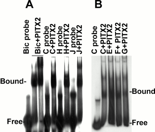 PLOD-1 and Plod-2 promoter elements bind PITX2 in vitro. (A) EMSA of PITX2 protein incubated with radioactively labeled double stranded oligodeoxyribonucleotide probes designed from the PLOD-1 promoter. Bic, Drosophila bicoid element. For sequences of Bic and of elements C, H, and J see Fig. 2 and Table . (B) EMSA of PITX2 protein incubated with probes designed from the Plod-2 promoter. For sequences of elements C, E, F, and G see Fig. 2 and Table .