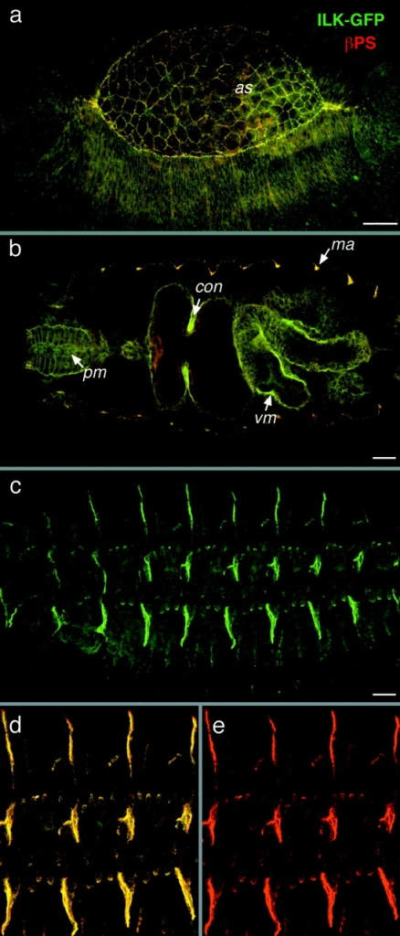 ILK colocalizes with integrins during embryonic development. (a–e) Colocalization of ILK-GFP and PS integrins. ILK-GFP is visualized by GFP fluorescence (green) and the βPS subunit is detected with a monoclonal antibody (red), with colocalization appearing yellow. Anterior is left in this and all subsequent panels. (a) Dorsolateral view of an embryo at stage 13 during dorsal closure, where ILK-GFP and integrins are concentrated at the leading edges of epidermis and the edges of the amnioserosa (as). (b) Optical horizontal section of mid-stage 16 embryo focused on the internal organs to show the localization of ILK in pharyngeal muscles (pm) and visceral mesoderm (vm), with particularly strong expression of ILK seen here at the first midgut constriction (con), and at muscle attachment sites (ma). (c) Lateral view of a late stage 16 embryo showing ILK-GFP localization at muscle attachment sites. (d and e) Same embryo at higher magnification to show the tight colocalization of ILK with integrins (d) and the integrin staining alone (e). Bars, 20 μm.