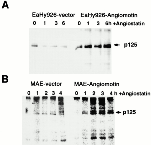 Angiostatin induces FAK activity in vitro in cells transfected with angiomotin. (A) Angiomotin-negative EaHy926 or (B) MAE cells were transfected with angiomotin or empty vector. Cells were stimulated with angiostatin at the indicated time points. FAK was immunoprecipitated and subjected to in vitro kinase analysis as described in Materials and Methods. Arrows indicate the localization of p125 FAK.