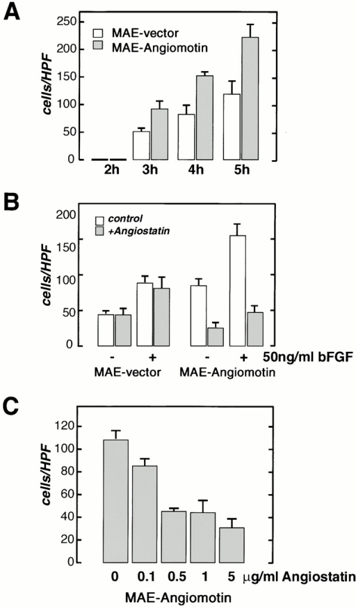 Migration of MAE cells transfected with angiomotin or with the vector alone was studied in the modified Boyden chamber assay. (A) Analysis of spontaneous migration in the absence of chemotactic factor at different time points after start of the experiment. A higher number of angiomotin-expressing cells are migrating through the filter at all time points. Vertical axis, cells migrated per high power field (HPF). (B) Effect of angiostatin on migration of MAE-angiomotin and MAE vector cells with or without stimulation with bFGF. Cells were pretreated for 1 h with angiostatin as indicated. (C) Dose response of angiostatin-mediated inhibition of migration of angiomotin-transfected MAE cells. All samples were performed in quadruplicates (error bars = SD).
