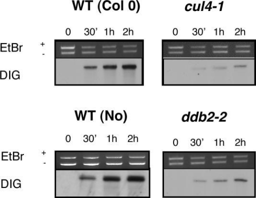 In vitro synthesis DNA repair assays of UV-C damaged plasmid.Cell extracts (20 µg) from WT (Col/Nossen), cul4-1 and ddb2-2 plants were incubated with UV-C damaged (UV-C treated pGEX: +UV-C) and control (untreated pBKS: −UV-C) plasmids in the presence of DIG-dUTP. Incorporation was evaluated during a time course. These pictures are representative of 2 independent experiments.