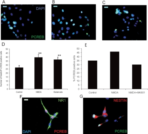 NMDA induces CREB phosphorylation in retinal progenitors. A-C: Photomicrographs show P-CREB labeled cells counterstained with DAPI after no treatment (A) and 100 μM NMDA (B), or glutamate (C). D: Graph shows the quantification of nestin-P-CREB double-positive cells in control, NMDA, or glutamate-treated cultures. Data represent mean±SEM of 100 cells counted on nonoverlapping fields in three experiments. Double asterisks (**) indicate p<0.05 compared to control. E: Graph shows the percentage of P-CREB positive cells after no treatment, 100 μM NMDA, or 100 μM NMDA plus 50 μM MK801. Data represent the percentage of P-CREB positive cells with respect to total number of cells counted on five nonoverlapping fields. F-G: Photomicrographs show NR1-P-CREB (F) and nestin-P-CREB double-labeled cells (G) counterstained with DAPI. Calibration bar equals 100 μm in A-C and 20 μm in F.