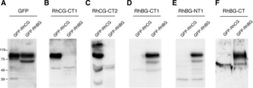 Novel RhBG and RhCG antibodies are specific to GFP-RhBG or GFP-RhCG when analyzed by Western blotting. MDCKI cells stably expressing GFP-tagged RhBG or RhCG were treated with sodium butyrate to increase protein expression, lysed, and immunoblotted with polyclonal antibodies to GFP (A), αRhCG-CT1 (B), αRhCG-CT2 (C), αRhBG-CT1 (D), αRhBG-NT (E), and αRhBG-CT (F). All RhBG and RhCG antibodies bind specifically to the Rh glycoprotein against which they were raised.