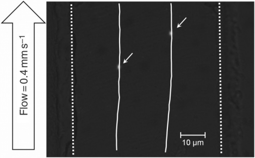 A fluorescent image of two beads flowing through a microfluidic channel. The beads are denoted by arrows, and the measured trajectories are overlaid. The dashed lines denote the boundaries of the channel.