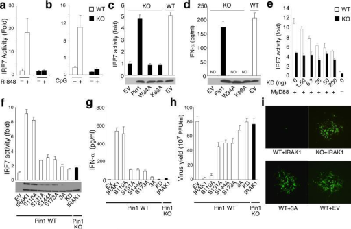 Pin1 is required for IRF7 activation and IFN-α production upon TLR ligation in vitro(a, b) Pin1 is required for IRF7 activation in response to TLR7 or TLR9 activation. Pin1 WT and KO cells transiently co-expressing a UAS(GAL)-reporter plasmid, Gal4-IRF7 and TLR7 (a) or TLR9 (b) were stimulated with R-848 or CpG, respectively, followed by luciferase assay 12 h later using renilla luciferase to normalize for transfection efficiency.(c, d) Re-expression of Pin1, but not its mutants, fully rescues impaired IRF7 activation and IFN-α production in Pin1 KO cells. Pin1 WT and KO MEFs stably expressing IRAK1 were transiently co-transfected with UAS(GAL) and Gal4-IRF7 and empty vector (EV), Pin1, WW domain mutant (W34A) or PPIase domain mutant (K63A), followed by luciferase assay (c) and IFN-α ELISA (d), with Pin1 WT MEFs stably expressing IRAK1 transfected with EV as a control. Expression levels of WT, W34A and K63A Pin1 proteins are shown below graphs in (c) and (d).(e) Overexpression of KD IRAK1 inhibits IRF7 activity in Pin1 WT, but does not affect basal IRF7 activity in Pin1 KO MEFs. Pin1 WT and KO MEFs were transiently transfected with Gal4-IRF7, UAS(Gal), MyD88 (20 ng) and various amounts of KD Irak1 or control vector, as indicated, followed by assaying IRF7 activity using Renilla as a control for normalization.(f, g) Pin1 KO or IRAK1 mutations that prevent IRAK1 from being a Pin1 substrate abolish IRF7 activation and IFN-α production. Pin1 WT and KO cells stably expressing empty vector (EV), IRAK1 or IRAK1 mutants S110A, S131, S144, S173A, 3A (S131+S144+S173A) or KD were co-transfected with UAS(GAL) and Gal4-IRF7 to assess IRF7 reporter activity (f) or with IRF7 to measure IFN-α production (g). Expression levels of IRAK1 and its various mutants are shown below the graph (f).(h, i) Pin1 KO or Irak1 mutations that prevent IRAK1 from being a Pin1 substrate abolish antiviral activity. VSV production in plaque-forming units (PFU) per ml 24 h after infection of monolayer L cells (0.1 PFU/cell) previously treated with supernatants from Pin1 WT and KO cells stably expressing EV, IRAK1 or IRAK1 mutants S110A, S131, S144, S173A, 3A or KD (h), with representative pictures of VSV plaques shown in (i). ND, not detectable. Results shown are means ± s.d. of triplicates.