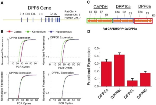 Analysis of DPP6 splice variant expression in CG cells.A) DPP6 gene shows a conserved set of four alternative first exons producing the protein variants DPP6a, DPP6K, DPP6L and DPP6S. B) qRT-PCR using SYBR Green Fluorescence for DPP6 variants from three brain regions: cortex, cerebellum and hippocampus. DPP6a and DPP6K show enhanced expression in cerebellum. C) Normalization controls used to correct for primer amplification efficiency differences. Amplification targets from GAPDH and two DPLP variants were diluted and used to construct amplification curves. Common GAPDH signal was used to ensure consistent dilution of standards. D) Relative expression levels of DPP6 variants in cerebellum following normalization. Due to high levels of expression in CG cells and the abundance of these neurons, these signals essentially report the relative expression of DPP6 variants in CG cells.