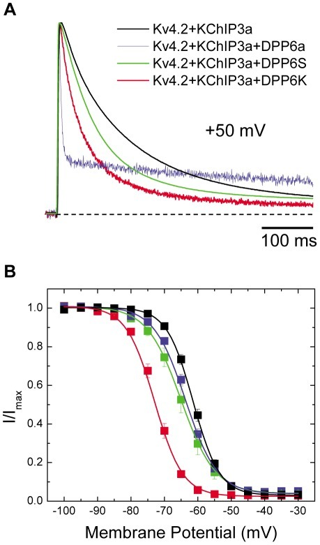 DPP6K dramatically accelerates inactivation kinetics and leftward shifts steady-state inactivation curve.Xenopus oocytes were injected with cRNAs encoding Kv4.2 and KChIP3a along with either DPP6a, DPP6S, or DPP6K. Transient currents were recorded using two-electrode voltage clamp. (A) Representative normalized current traces generated by voltage steps to +50 mV from a holding potential of −100 mV for 1 sec. Only the first 500 ms are shown. (B) Voltage dependence of steady-state inactivation for the various channel complexes. The steady-state inactivation protocol consisted of a 10-sec prepulse at the indicated potentials and a 250-ms test pulse to +50 mV, with an inter-episode interval of 5 secs. The fraction of available current (I/Imax) was plotted against the prepulse membrane potential. Data are shown as mean ± SEM, and the lines represent fits using Boltzmann functions.