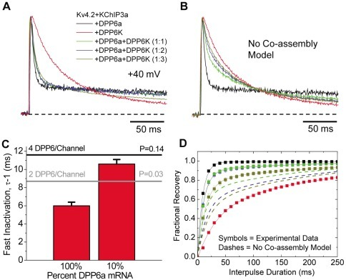 Co-assembly of DPP6K and DPP6a in heteromultimeric channel complexes.(A) Outward currents expressed by oocytes co-injected by various combinations of cRNAs, as elicited by depolarization to +40 mV from holding potential of −100 mV. (B) Expected rise and decay of currents if DPP6a and DPP6K subunits do not co-assemble and produce segregated channel populations containing either one alone. (C) Slowing of the time constant of fast inactivation when DPP6a mRNA changes from 100% to 10% mixed with DPP6K mRNA. To get the average value for fast inactivation, the slow phase of inactivation and non-inactivating current were described by exponential fitting and subtracted from the total current. The remaining average fast inactivation time constant was measured by taking the peak current for the fast inactivating fraction divided by its area. The average time constant measured by this method was very similar to the time constant measured by the best single exponential fit to the fast inactivating component. The black and gray lines show the predicted maximal slowing of fast inactivation with four DPP6 and two DPP6 per channel, respectively, with only 1 DPP6a subunit per channel. (D) Recovery from inactivation at −100 mV after a 200 ms-long prepulse (symbols) as compared to predicted results assuming no co-assembly of DPP6a and DPP6K (dashes).