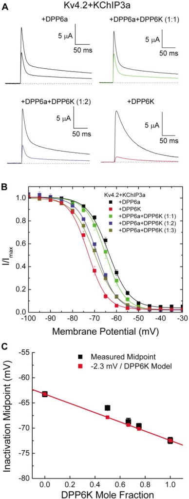 Steady-state inactivation of DPP6a∶DPP6K mixed channels.(A) Representative traces for Kv4.2+KChIP3a channels co-expressed with DPP6a alone, DPP6K alone, or with a DPP6a∶DPP6K mixture at 1∶1 or 1∶2 ratios, showing changes in steady-state inactivation at −65 mV. For the colored traces, the channels were held for 30 sec at −65 mV before pulsing to +40 mV for 250 ms to test available current. The black traces show the total currents, from test pulses where the channels were held at −100 mV and experienced no inactivation. (B) Voltage dependence of steady-state inactivation of ternary complexes with homotetrameric and heterotetrameric DPP6 subunits. (C) Progressive shifting of inactivation midpoint with increasing DPP6K ratio. The V0.5i values were plotted against the calculated DPP6K mole fraction. Model assumes independent energetic effects for each DPP6K subunit incorporated into the channel, with symbols measured V0.5i values for summed Boltzmann curves from the model.