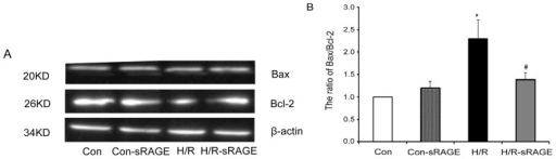 Effect of sRAGE on the ratio of Bax to Bcl-2. (A) Western blot analysis of Bax and Bcl-2 (upper panels) and β-actin (loading control; lower panel). (B) Densitometry of Bax and Bcl-2 levels normalized to β-actin in each treatment condition in (A). Dose of sRAGE was 900 ng/mL. Data are the mean ± SD (* p < 0.01 vs. control. # p < 0.01 vs. H/R; n = 4).