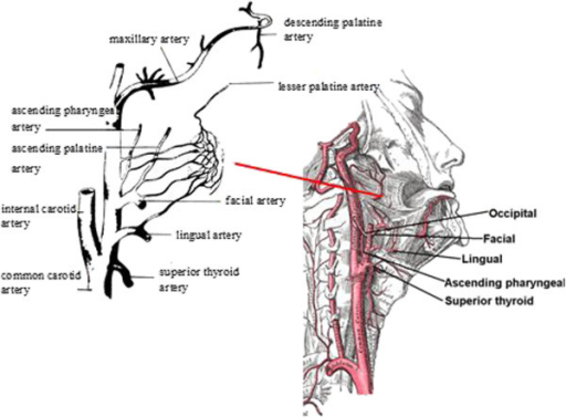 The blood supply to the palatine tonsil (modified from Wikipedia).