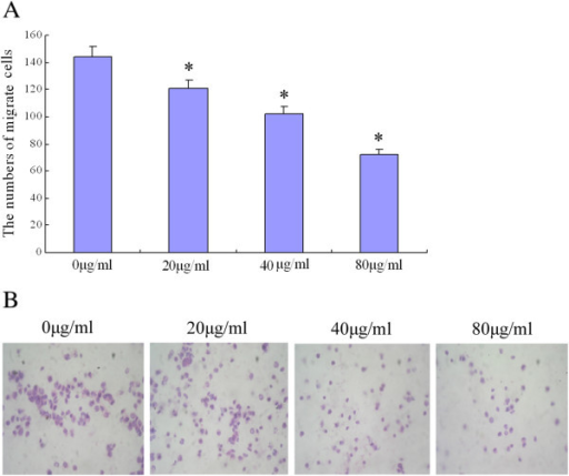 Astragalus saponins decreased the invasion and migration ability of BGC-823 cells. A. BGC-823 cell invasion was determined using the transwell invasion assay, which measures the number of cells that migrate through the matrigel into the lower surface of the polycarbonic membrane (100×). Data are presented as the mean of triplicate experiments. B. Cell invasion decreased significantly (*p < 0.05) in a dose-dependent manner in Astragalus saponins -treated cells compared with the control group.