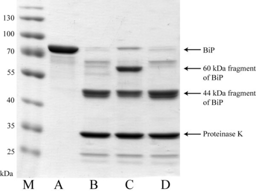 Partial proteolysis of recombinant BiP with proteinase K in the presence of nucleotides. M – prestained protein ladder (ThermoScientific, cat. no. 26616). Undigested recombinant BiP (A), or digested with proteinase K without nucleotides (B), in the presence of 100 μM ATP (C) or 100 μM ADP (D).