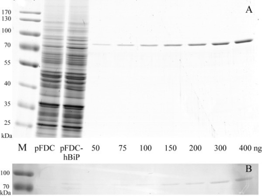 Evaluation of amount of intracellular human BiP protein in yeast S. cerevisiae cells. (A) SDS–PAGE of crude yeast lysates and indicated amounts of purified BiP; (B) Western blot using polyclonal antibodies against human BiP. M – prestained protein ladder (ThermoScientific, cat. no. 26618). pFDC and pFDC-hBiP – crude lysates (10 μg of whole cell protein in each lane) of yeast cells transformed with pFDC vector and pFDC-hBiP plasmid, respectively. 50, 75, 100, 150, 200, 300, 400 – amounts in nanograms of purified secreted human BiP protein loaded on gel.